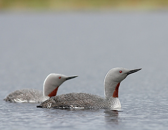 Red-Throated Diver. Photo: Jorma Luhta