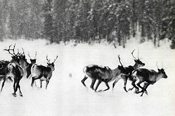 Deer hunting was very important in helping people to survive. Photo: Suomen peura / Martti Montonen