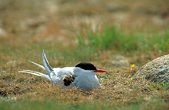 A black capped, red beaked arctic tern resting on the grassy seashore.