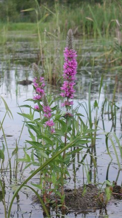The purple loosestrife (Lythrum salicaria) adds colour to the wetland. Photo: Tiina Niikkonen