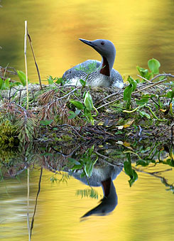 Red-Throated Diver (Gavia stellata) sits on its eggs in a nest, a top a floating turf island. Photo: Lassi Kujala