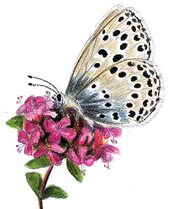 Wild Thyme (Thymus serpyllum) and a Large Blue Butterfly (Maculinea arion). Drawing: Titta Jylhänkangas.