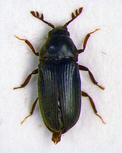 Aulonothroscus laticollis. Photo: Metsähallitus/Jaakko Mattila