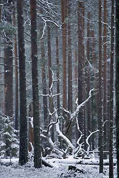Winter is on the way in the forests of Pyhä-Häkki. Photo: Mikael Hintze