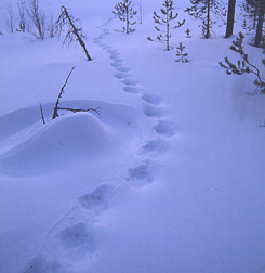 Wolverine tracks. Photo: Jyrki Mäkelä