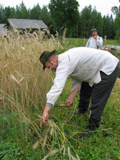 Cutting rye. Photo: Juha Auvinen