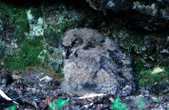 Young Northern Eagle Owl (Bubo bubo). Photo: Tapani Vartiainen