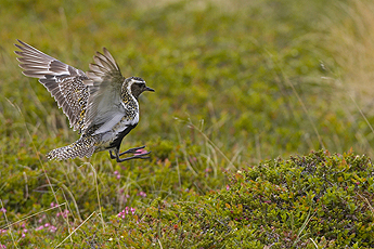 The Eurasian Golden Plover. Photo: Markus Varesvuo