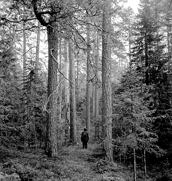 Black and white photo of a hiker standing between tall pine trees.