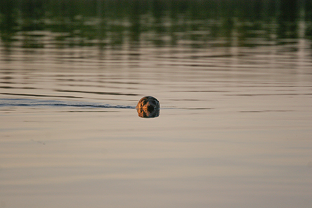 You may spot a seal anywhere in Lake Saimaa. The Kolovesi and Linnansaari National Parks are excellent seal-spotting locations. Photo: Jouni Koskela