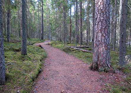 A trail through the serene pine forest of Multiharju. Photo: Tiina Hakkarainen