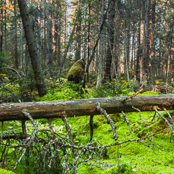 A coniferous forest with a fallen tree in the foreground.