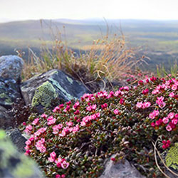 Creeping Azalea on top of Noitatunturi fell. Image: Anna Pakkanen