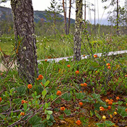 The cloudberries are ripening by the side of Poropolku trail. Image: Anna Pakkanen