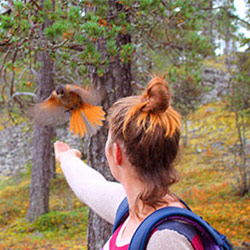 A friendly Siberian Jay on Pyhä-Luosto Hiking Trail. Image: Aino Eronen