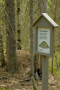 There are magnificent anthills along the nature trail. Photo: Heikki Räsänen