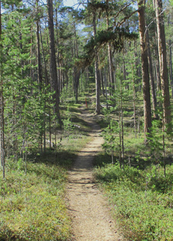 Pine forest In the beginning of the Juutua Trail. Photo: Tuija Kangasniemi