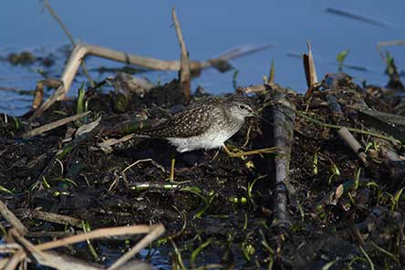 Wood Sandpiper (Tringa glareola). Photo: Antti Below