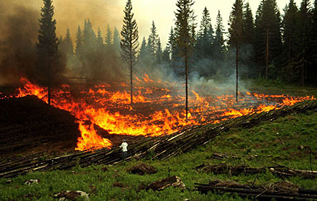Toiling away in a slash-and-burn field. Photo: Metla/Ismo Hyttinen