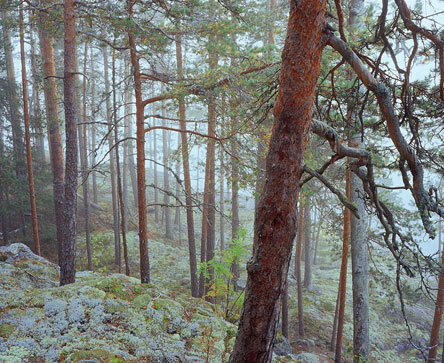 Trees of different ages in the island's forest. Photo: Tapio Tuomela
