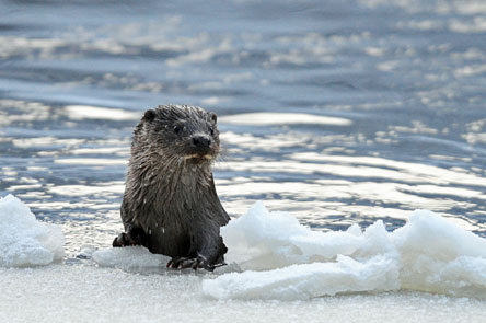 An otter has risen from the lake with its forefeet on the ice.