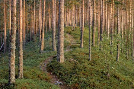 Esker Forest. Photo: Timo Nieminen