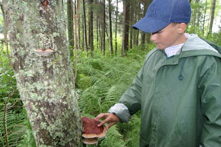 A beautiful mushroom growing on the side of alder in fern forest. Photo: Helinä Markkanen