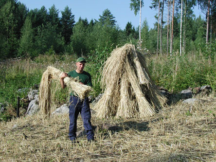 After hay dries stacks are taken down and hay is taken into barns to be threshed. Photo: Hanne Liukko
