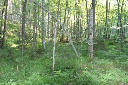 Lush herb-rich forests are the pride of Linnansaari National Park. Photo: Helinä Markkanen