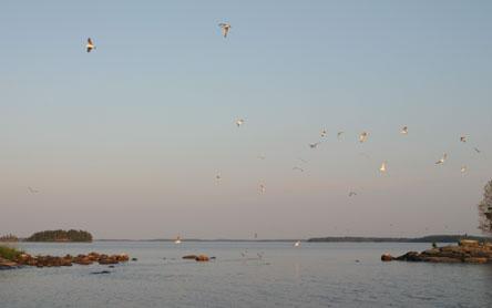 A flock of gulls in the area's islands. Photo: Helinä Markkanen