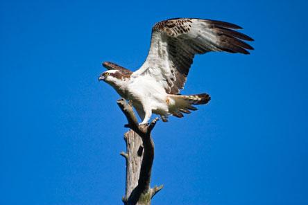 Osprey (Pandion haliaetus). Photo: Markus Sirkka