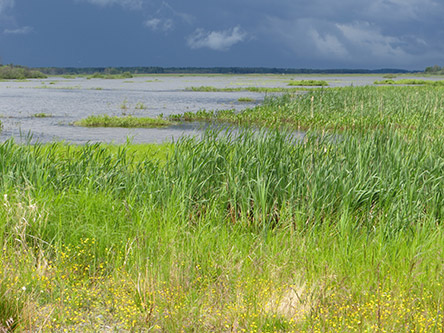 Reeds by the shore of lake Puurijärvi. Storm clouds cover the horizon.