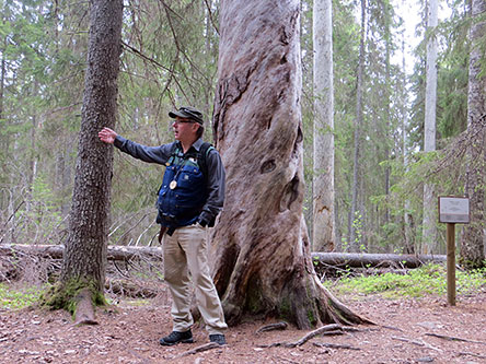 The guide in front of the Big Tree. Photo: Maija Mikkola.