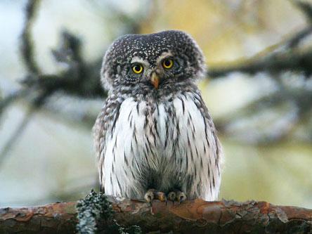 Eurasian Pygmy-Owl (Glaucidium passerinum). Photo: Lassi Kujala