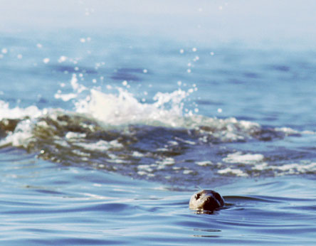 The Grey Seal. Photo: Markku Lappalainen