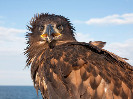 Haliaeetus albicilla. Photo: Seppo Keränen