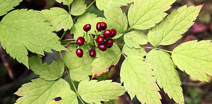 Red Baneberry with green leafs on the background.