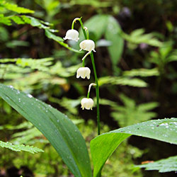 Lily-of-the-valley blooms with the smallest white bellflowers.