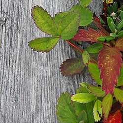 Green and red leaves on the duckboards.