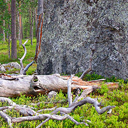 An old snag is lying in front of a big stone in the pine forest.