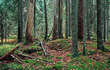 Old-growth forest at Ahonnokka in Liesjärvi National Park. Photo: Jari Kostet