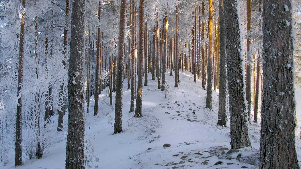 Snowy forest landscape.