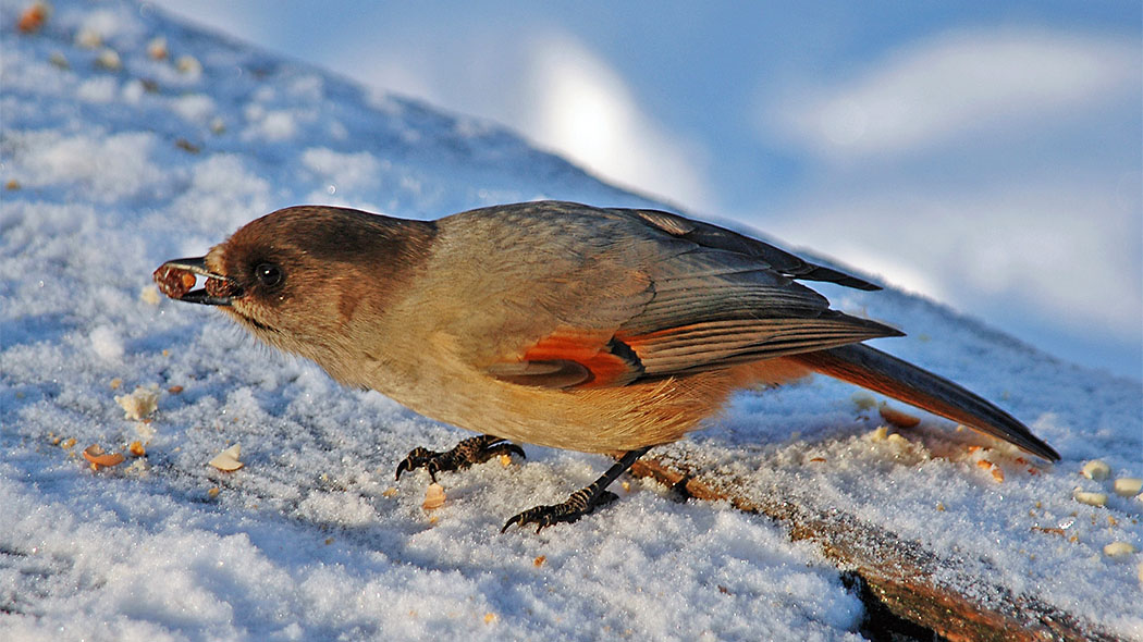 A Siberian jay looking for food on the snow-covered ground.