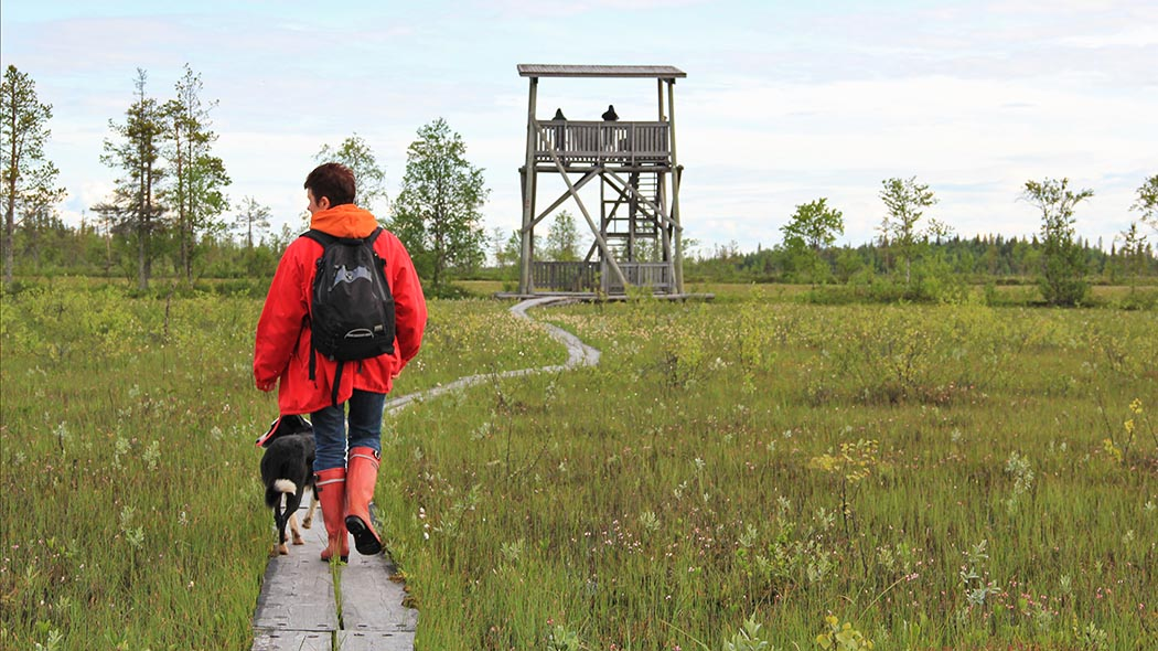 A hiker with a dog walking along duckboards leading to the bird-watching tower.