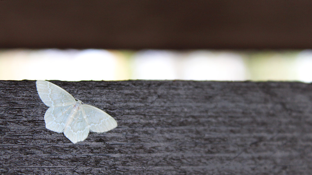 A white butterfly resting on a black tree trunk.