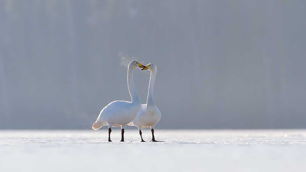 Two whooper swans stand side by side on the ice of the lake. Their beaks are facing each other.