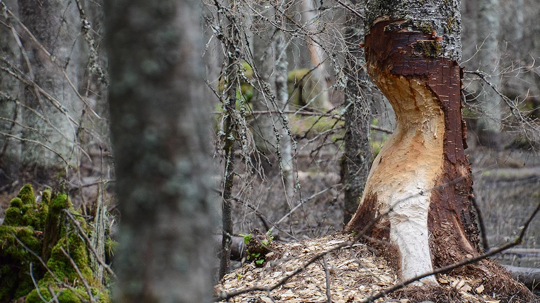 A beaver has gnawed halfway through the tree, but it's still standing.