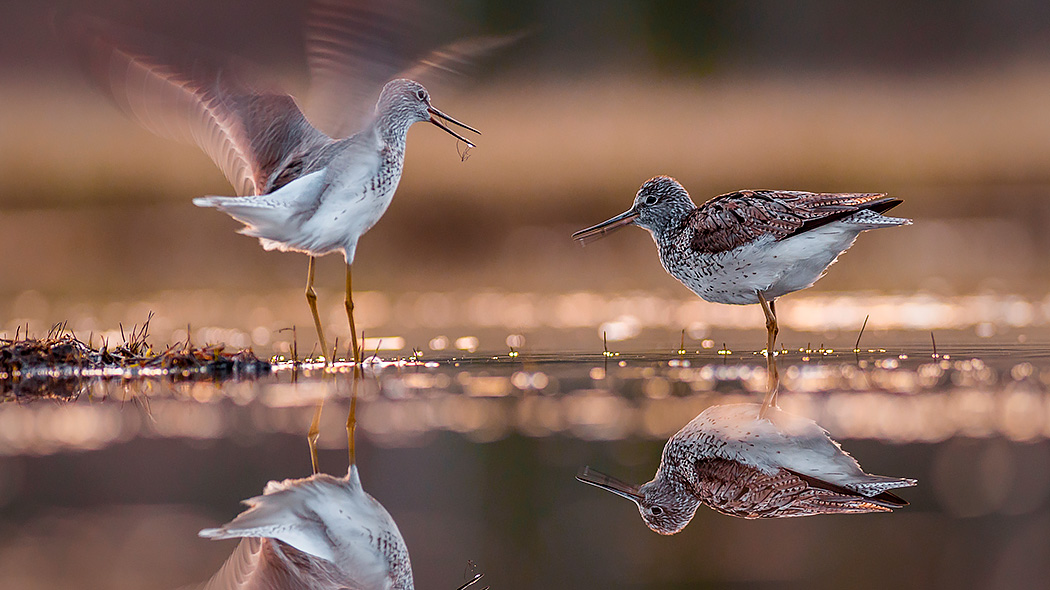 Common greenshank. Photo: Kari Leo