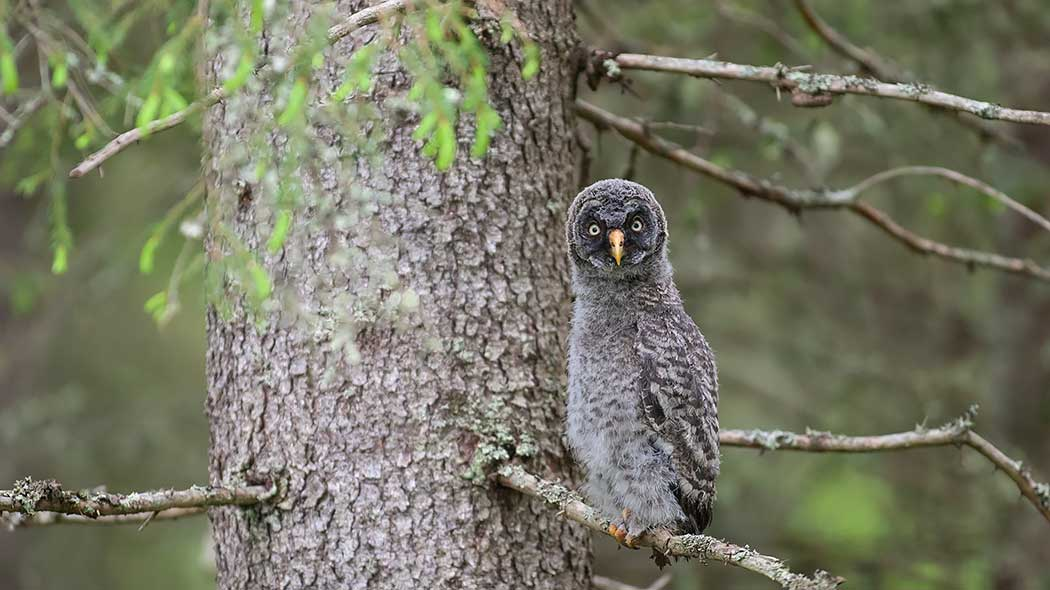 A great gray owl is sitting on a branch and looks directly at the photographer.