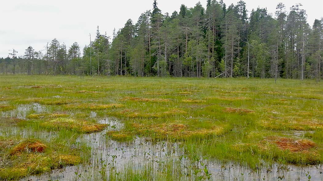 A flark marsh where many different hay species grow. Water is visible among the flark. In the background is a forest.